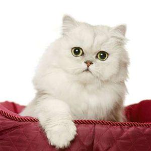 Beau chat Persan à poil long