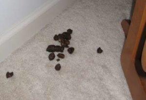 Chat malpropre dans la maison