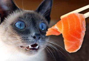 Beau chat qui adore la nourriture