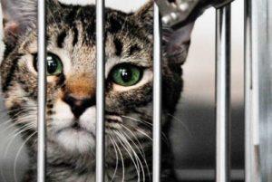 chat gris en cage