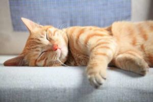 jolie chat roux qui fait la sieste