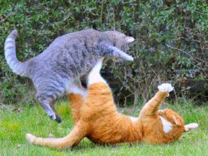 jeux de combat entre deux chats