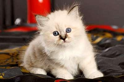 Le premier jour du chaton chez vous : bien le préparer