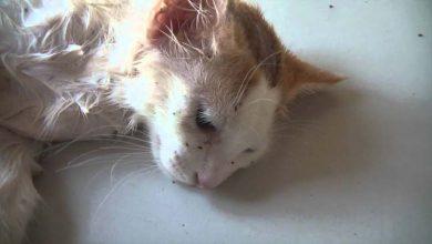 Photo de Où et comment les chats attrapent-ils des puces ?
