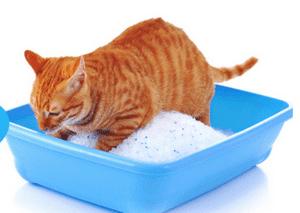 Chat faisant ses besoins dans la litière en silice