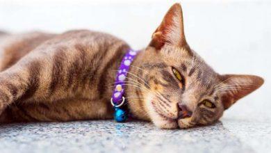 7 traitements naturels pour traiter les puces du chat