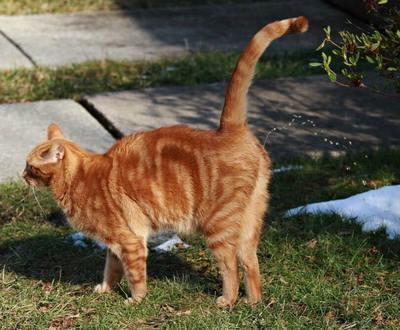 Ce chat marque son territoire avec de l'urine
