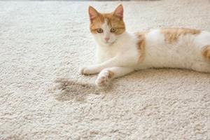 Chat qui urine dans la maison